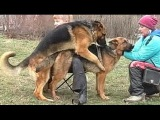 ПОМОЩЬ при ВЯЗКЕ СОБАК. A specialist in mating of dogs helps to avoid animal injuries. Одесса.