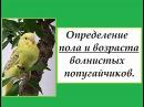 Определение пола и возраста волнистых попугайчиков