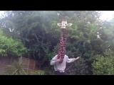 Поющий жираф