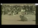Собачьи бои гуль терьер vs гиена