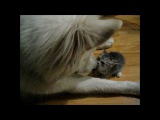 big bad wolf and itty bitty kitten learning to play together