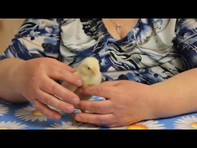 Правильное питание и содержание цыплят.Часть I.