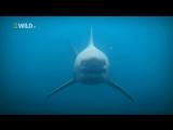 Суперхищники Большая белая акула. дикий мир и поведение животных в нем. больше видео в группе.