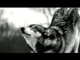 Волк-одиночка под музыку Агата Кристи и Би-2 - Мы не ангелы, парень - 320x240