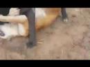 Бой Булли Кутты Тора часть 2 брата Анубиса