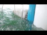 Клетка дайверов противостоит большой белой акуле
