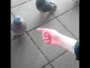 Борзые минские голуби
