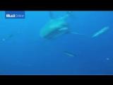 Шестиметровое чудовище: самую большую в мире акулу впервые сняли на видеоРазмер: 4.66 MбКод для вставки в блог   В Сети поя