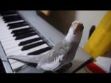 Талантливый попугай поет под пианино