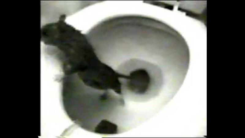 Крыса из унитаза