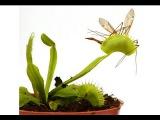 Дионея или Венерина мухоловка. Насекомоядное растение у вас в доме
