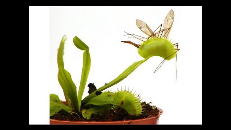 ДИОНЕЯ или ВЕНЕРИНА МУХОЛОВКА Насекомоядное растение ест насекомых
