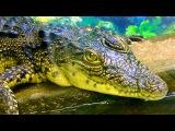 Крокодил. Нильский Крокодил. Видео Крокодилы. Футажи для видеомонтажа