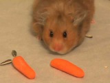 Smoke - The Amazing Hamster Storing Food
