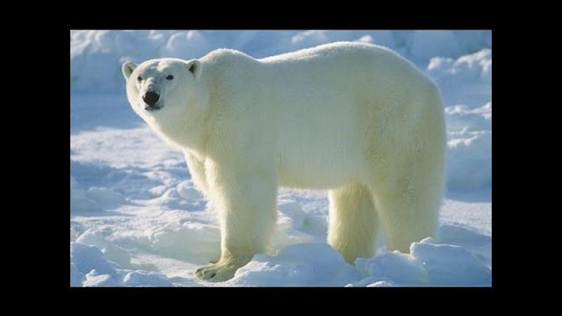 Суперхищники — Полярный медведь (Документальные фильмы, передачи HD)