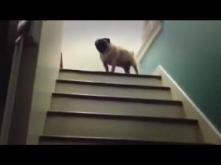 Мопс поднимается по лестнице! Можно смотреть бесконечно! Очень смешно!