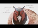 The animal Sounds: Pheasant Cock Cackling - Sound Effect -Animation
