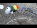 Lady Amherst Pheasant Dance - with hissing(turn up the audio)