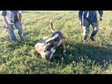 Волкодавы.собачий бой