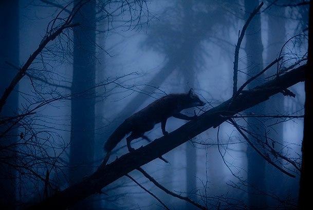 Повелитель лис