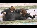 Львы убивают слоненка