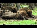 Питомник зубров и бизонов Приокско Террасный биосферный заповедник