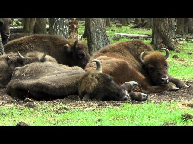 Питомник зубров и бизонов. Приокско-Террасный биосферный заповедник.