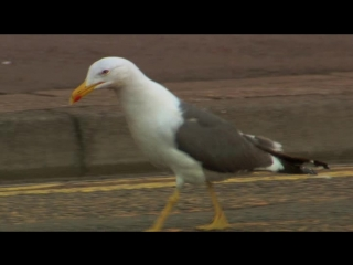 BBC Тайная жизнь птиц 04 Жизнь с людьми