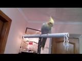 Мой ручной попугай корелла Гриша.
