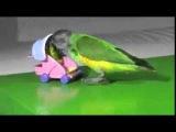 Попугайчик играет с игрушечной коляской - Parrot plays with a toy pram