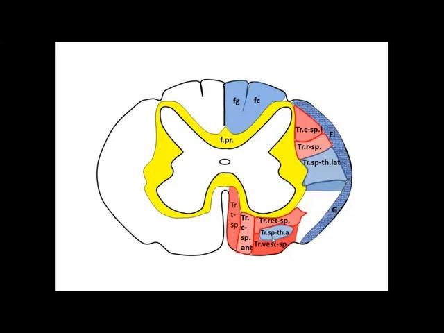 Спинной мозг (Medulla spinalis) - Новый доктор