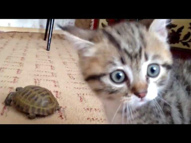 Кот атакует черепаху / Cat attacks a turtle » Freewka.com - Смотреть онлайн в хорощем качестве