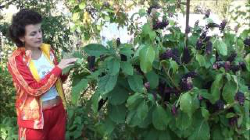 Удивительное растение - лаконос. Сайт sadovymir.ru