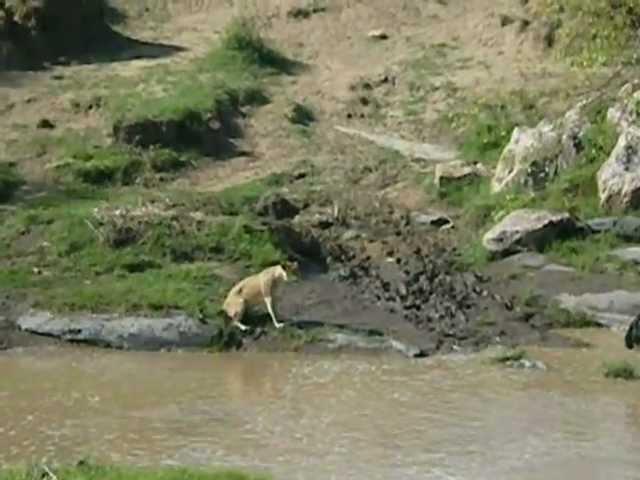 Антилопа гну отбивается от львицы