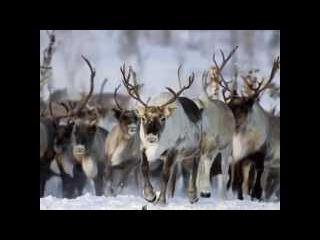 Wolf hunting. Yakutia. Охота на волков в Якутии