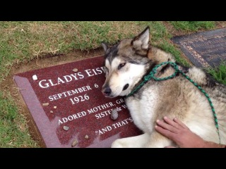 Собака зарыдала на могиле бабушки своей хозяйки