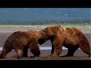 Драка медведей гризли