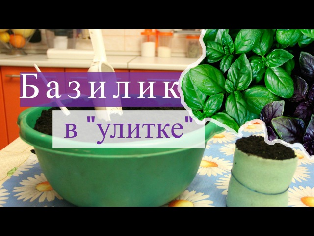 Базилик в улитке. Быстро всходит, хорошо растет! (07.02.16г.)