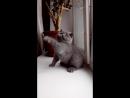 Эмирхан-голубой котик Адвоката и Алисы. 2 мес