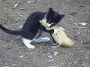Бой котенок vs индоутка жесть ржач прикол 2013 смотреть до конца