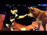Shiba Inu pokes her face