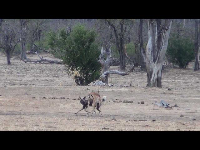 Одинокая гиеновая собака охотится на импалу