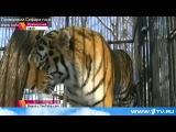 История дружбы тигра Амура и козла Тимура в Приморском сафари-парке получила продолжение