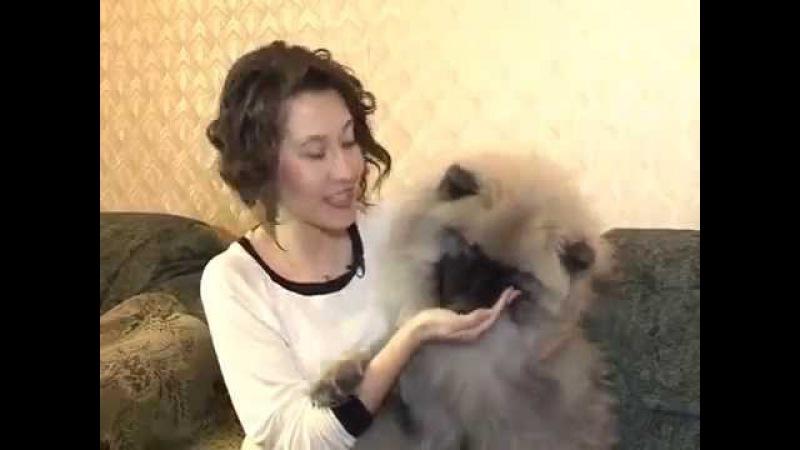 Передача Домашний зоопарк про вольфшпицев (кеесхондов) » Freewka.com - Смотреть онлайн в хорощем качестве