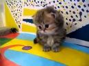 Офигенные КОТЯТА Маленькие пушистые персидские котята