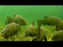 Big tench perch fish underwater camera. Крупный линь окунь рыба подводная съёмка зимой.