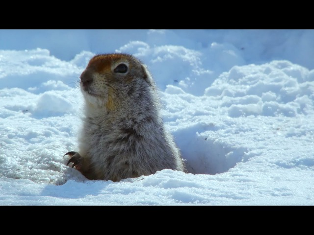 How an Arctic Squirrel Survives Winter | Wild Alaska | BBC