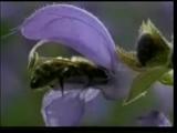 Для чего танцуют пчелы.