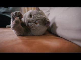 Британская короткошёрстная кошка - все о породе кошек – Purina Pro Plan Ukraine