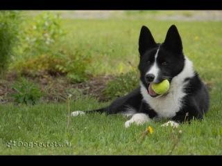 Карельская медвежья собака, все породы собак, 101 dogs. Введение в собаковедение.